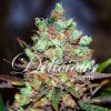 Delicious Seeds Cotton Candy Kush