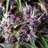 Purple Autoflowering 800x800
