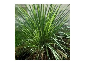 Lemon grass - citronela semena 5 Ks