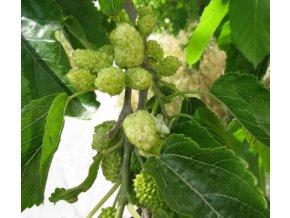 Moruše bílá - semena 2 ks