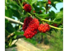 Moruše červená - semena 2 Ks