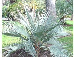 Nannorrhops - Mrazuvzdorná palma semena 4ks
