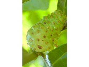 Noni - Morinda citrifolia semena 2Ks