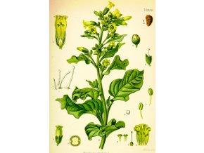 Tabák selský - Nicotiana rustica  semena