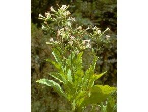 Tabák virginský - Nicotiana tabacum semena