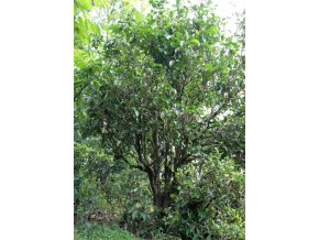 Tea tree - semena 2ks