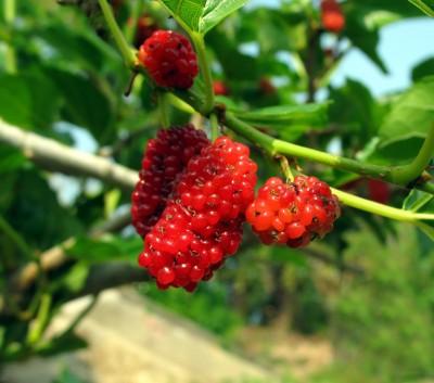 Salvia Paradise Moruše červená - semena 2 Ks