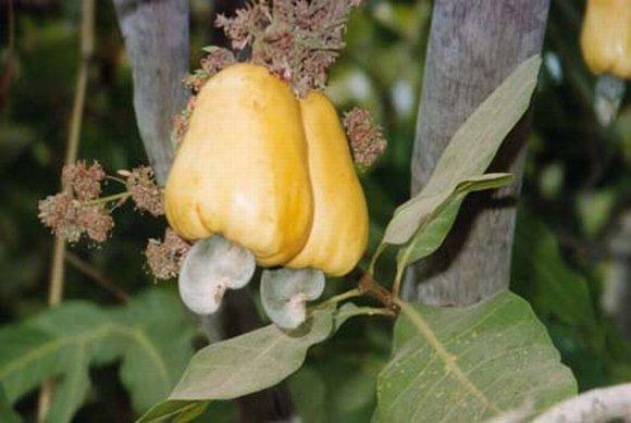 ledvinovník západní - kešu ořechy