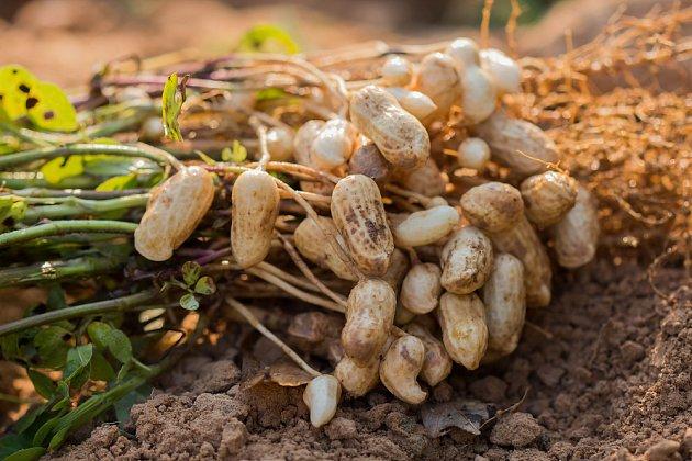 podzemnice olejná lusky arašídy nutworldcz