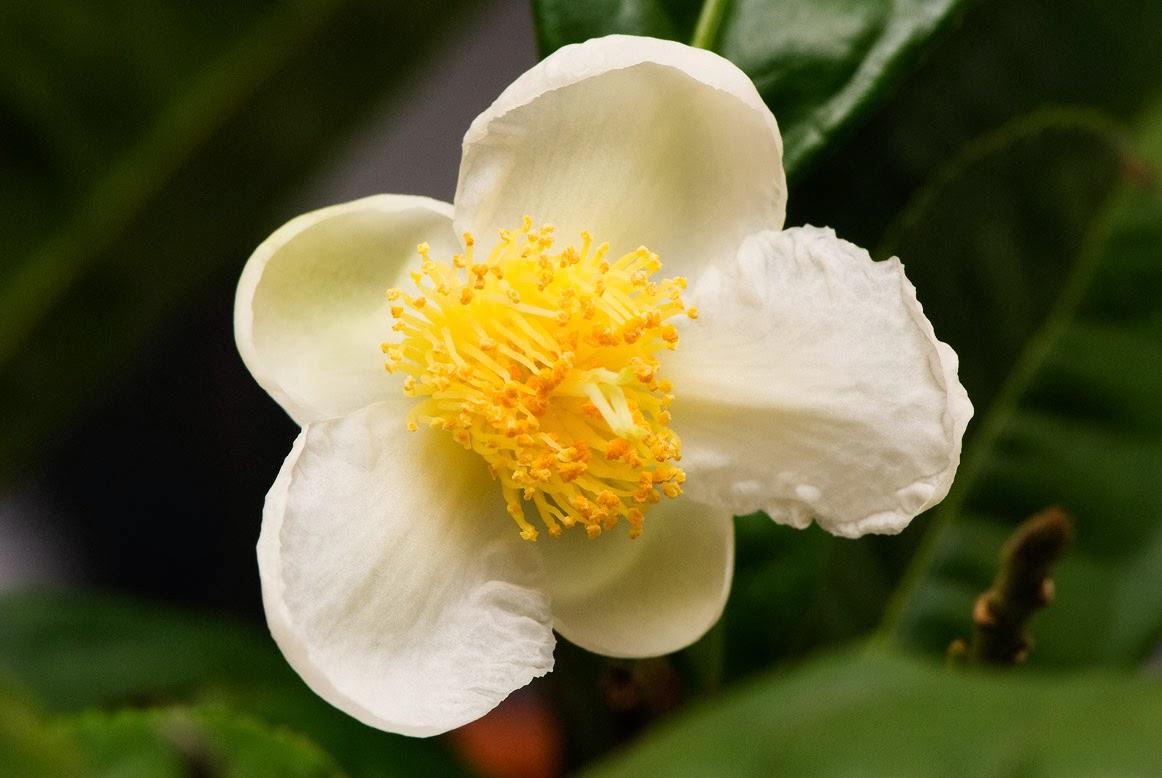 Čajovník - Camellia Sinensis