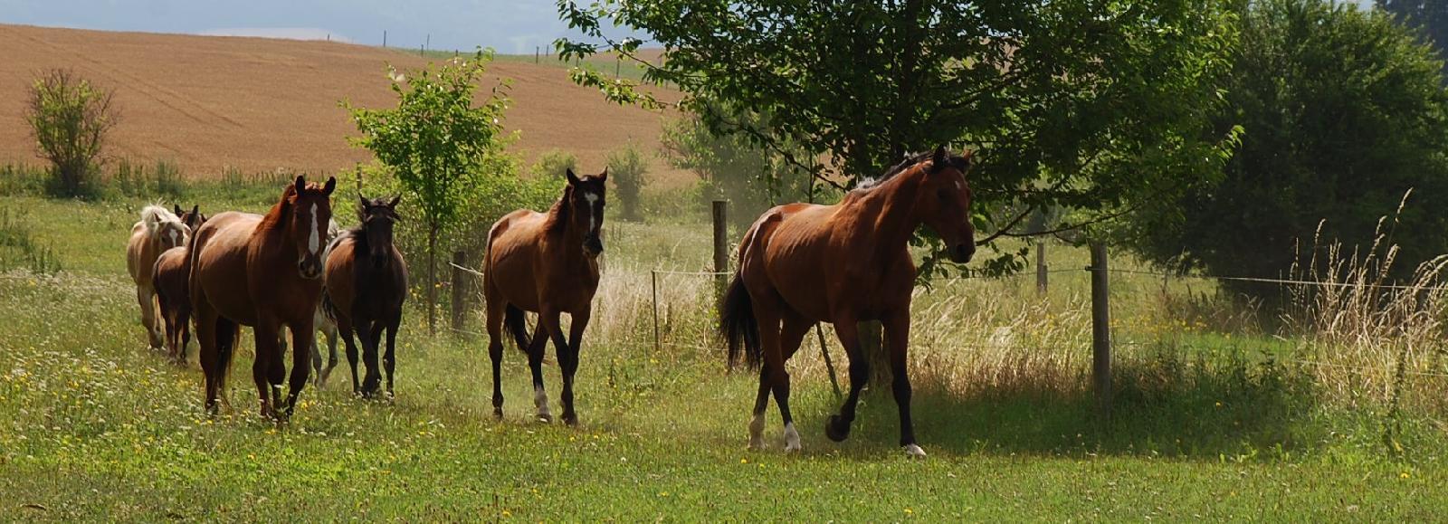 Koně na pastvině II