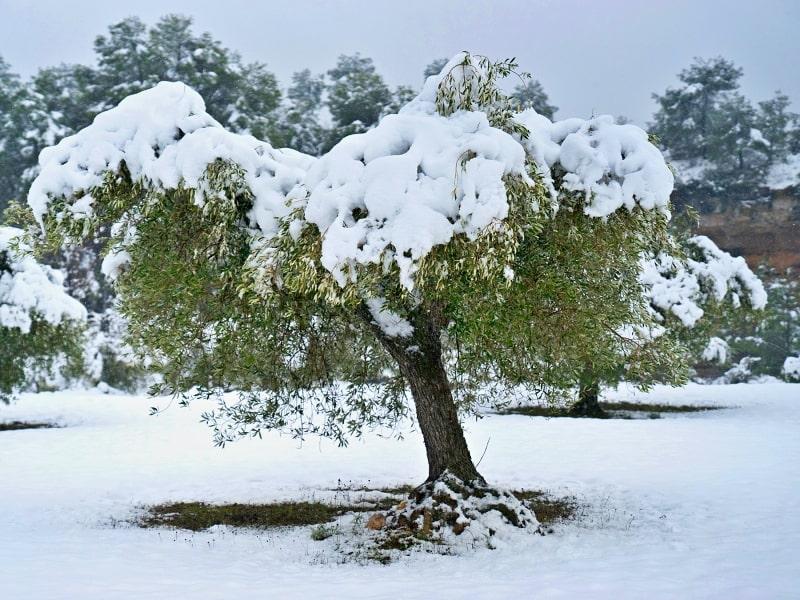 Koulovačka v olivovém háji