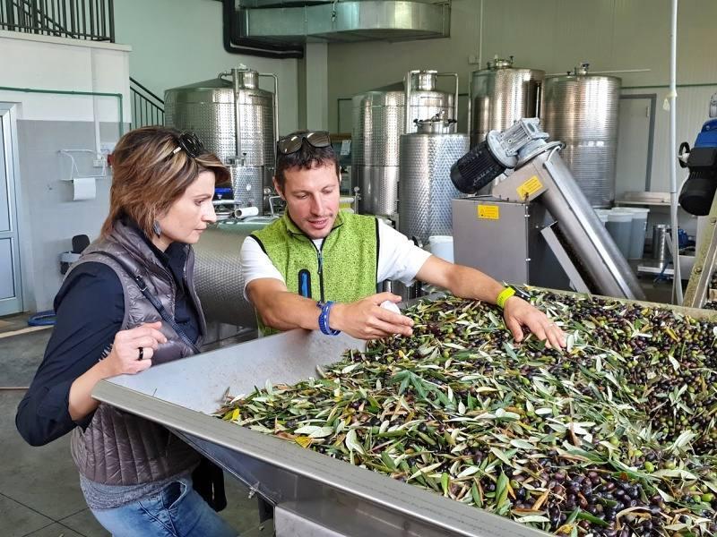Sklizeň oliv 2019 u Chiavalonu skončila