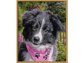 vyr 359mnz border collie puppy 609240793 01 2
