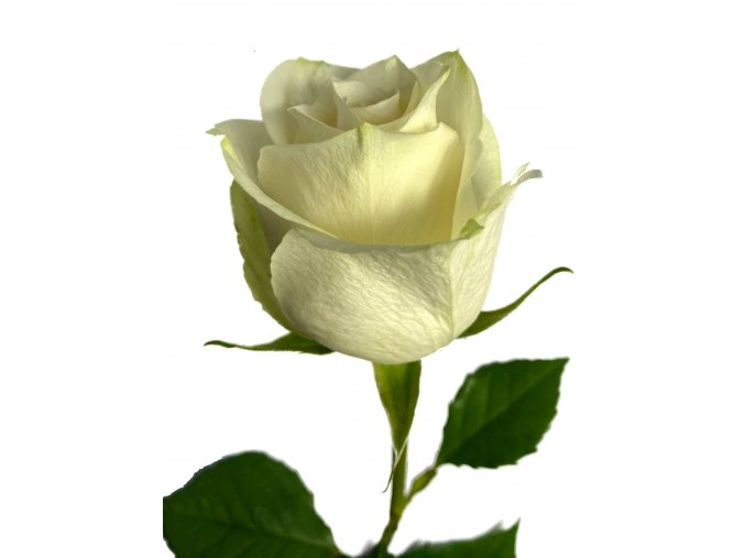 Kytice bílých růží 70 cm