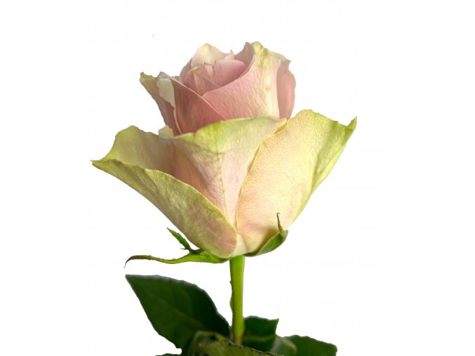 Kytice narůžovělých růží 40 cm