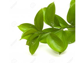 36618932 Ruscus hypophyllum Spineless Butcher s Broom florists foliage Stock Photo