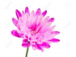 14586704 Pink chrysanthemum flower on green stick isolated on white background Stock Photo