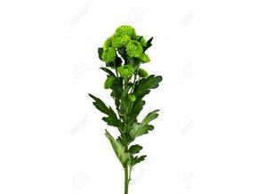 60534142 Green Chrysanthemum Flowers on a white background Stock Photo