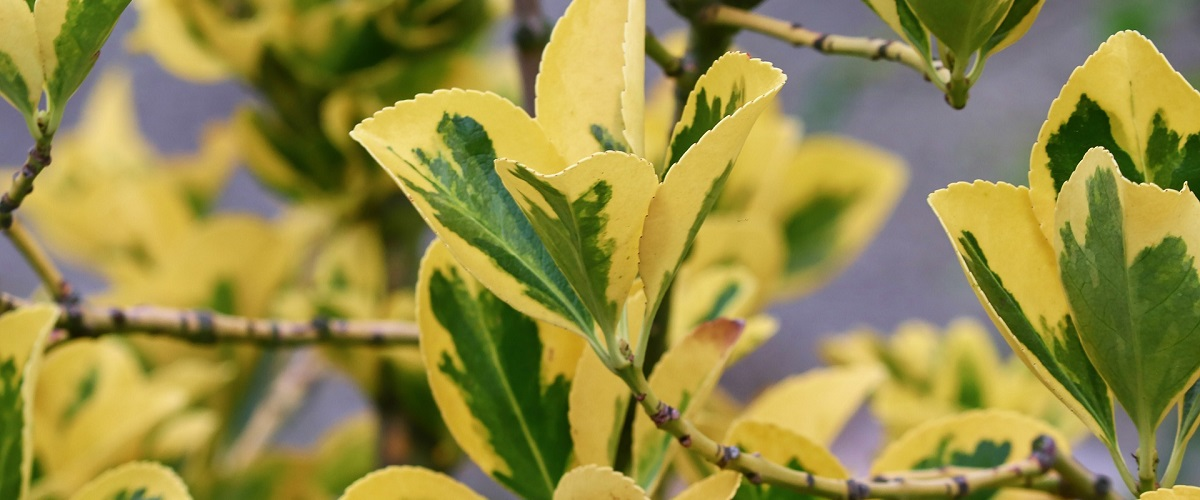 Euonymus fortunei-gold