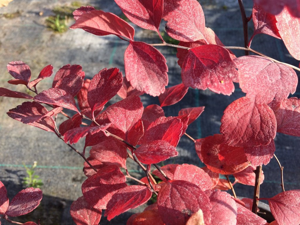 Spiraea betulifolia 8