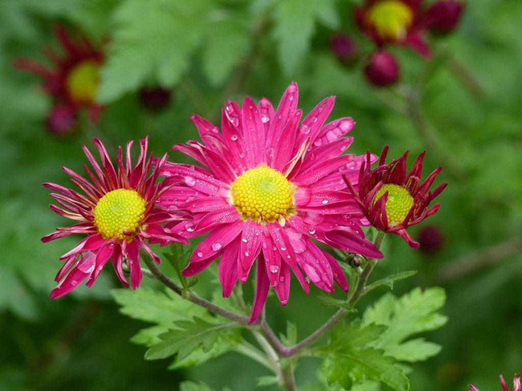 Chrysanthemum indicum 'Oury'