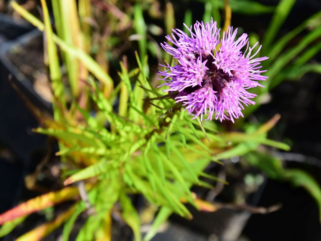Liatris spicata 'Floristan Violet' (2)