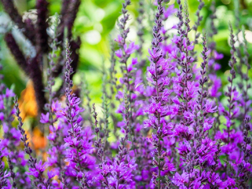 Salvia nemorosa 'Violet Queen'