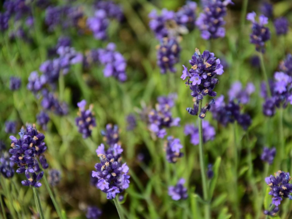 Levandule lékařská 'Aromatico Early Blue'