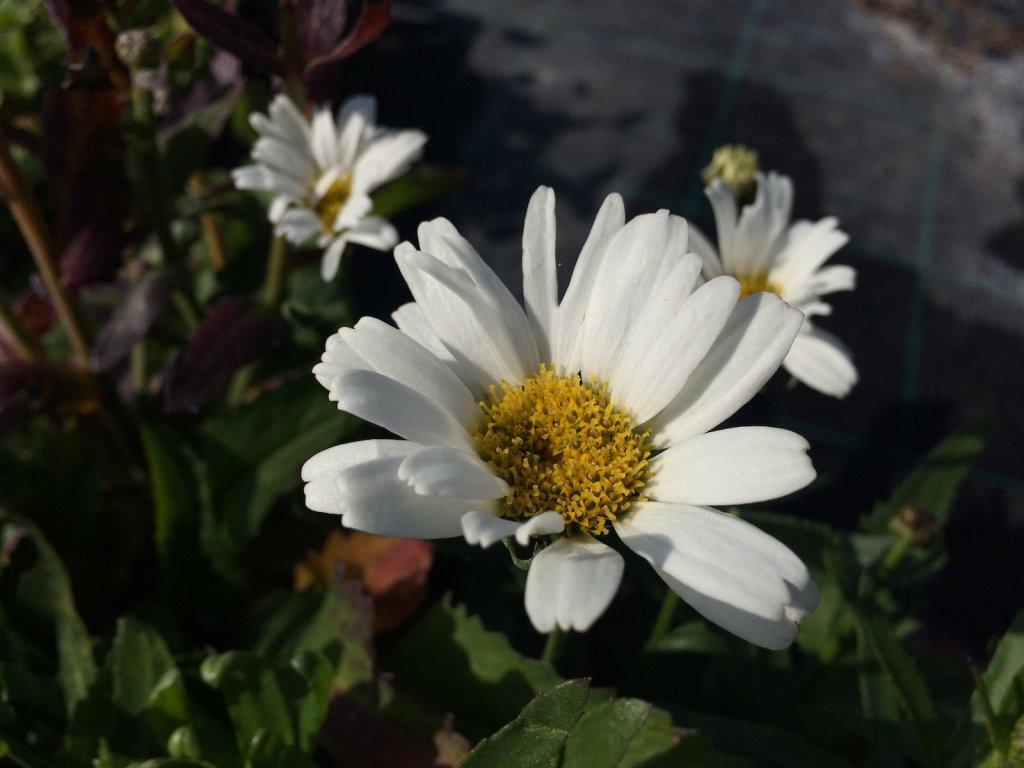 Leucanthemum maximum 'Snow Lady'