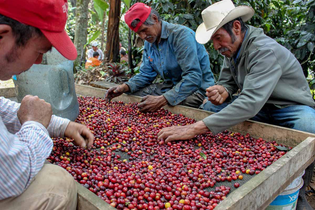 Tequila, Aztékové a káva v Mexiku