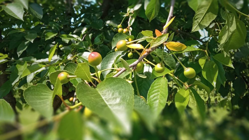 Ovocňák se připravuje na sklizeň v sadu Beckov