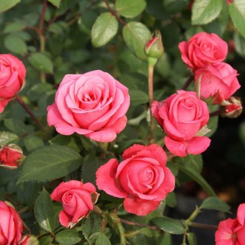 Keřové růže