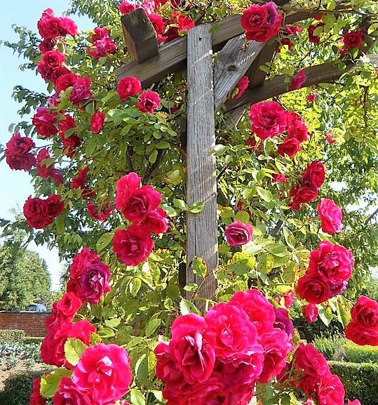 Pnoucí růže