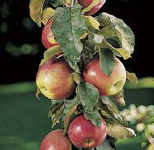 Sloupové jabloně