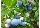 Další drobné ovoce