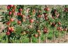 Sloupovité ovocné dřeviny