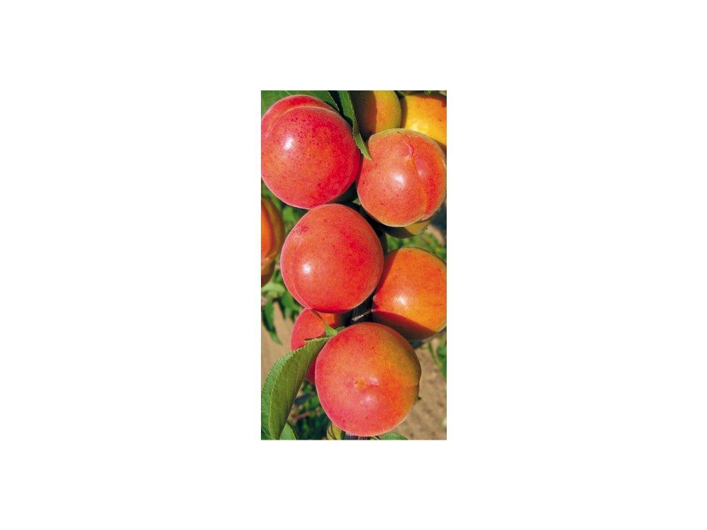 Velkopavlovická meruňka