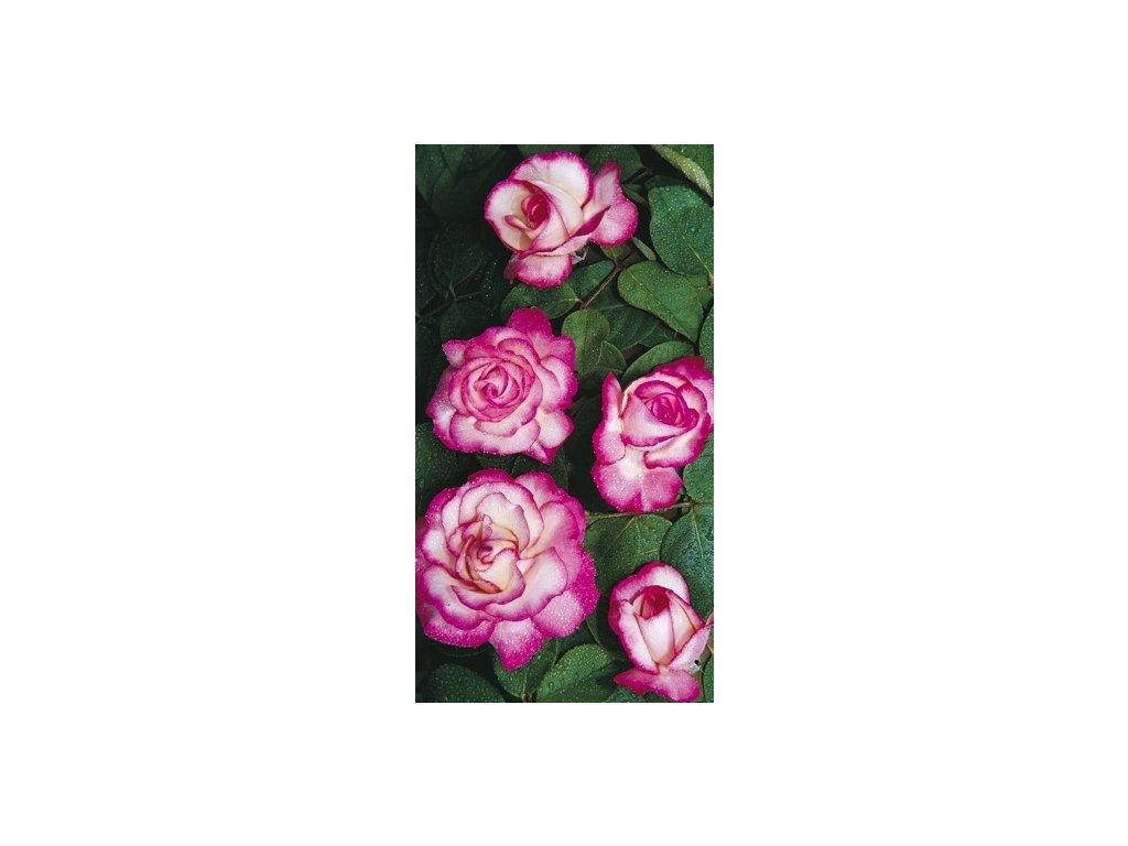 Růže pnoucí - popínavé