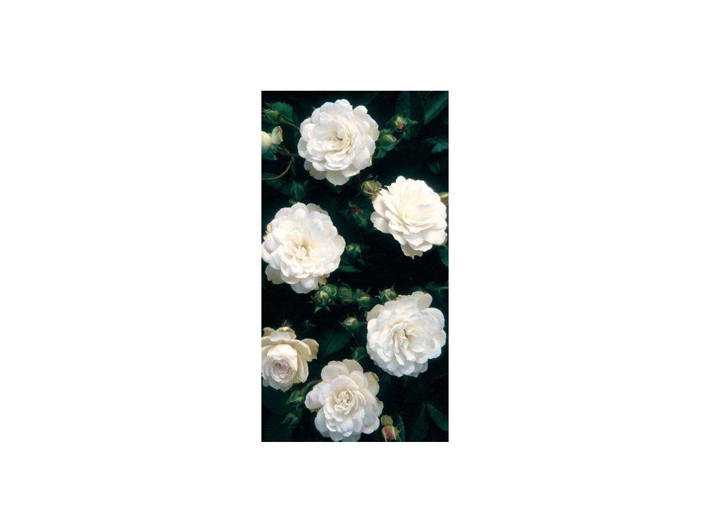Růže stromkové