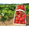 čerstvé jahody prodej jahod brno