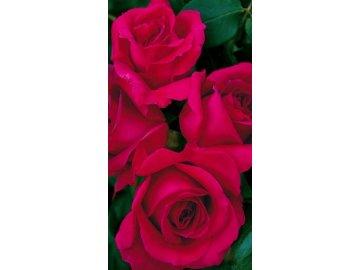 Keřová růže