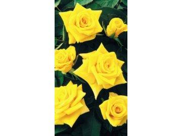 Polyantky růže