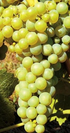 Vinná réva - bílé odrůdy