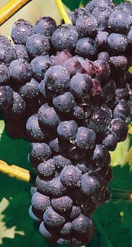 Vinná réva - modré odrůdy