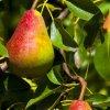 Sloupovitá hrušeň Dekora (podnož semenáč)