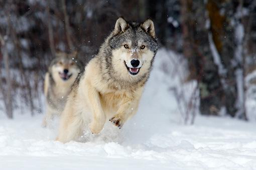 Vlčí smečka. Vlci ve sněhu. Lesní vlk v zimě. PAGANIA.CZ - pohanský obchod