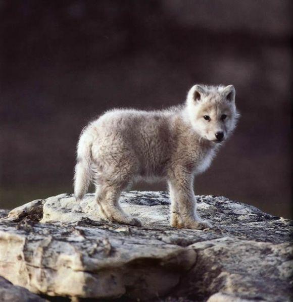 Vlče roztomilé mládě vlka v přírodě v lese na skále