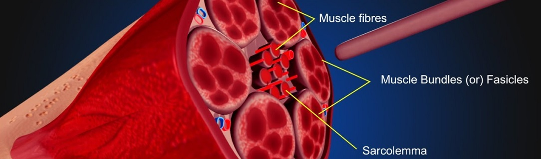 IASTM_muscle1084x320