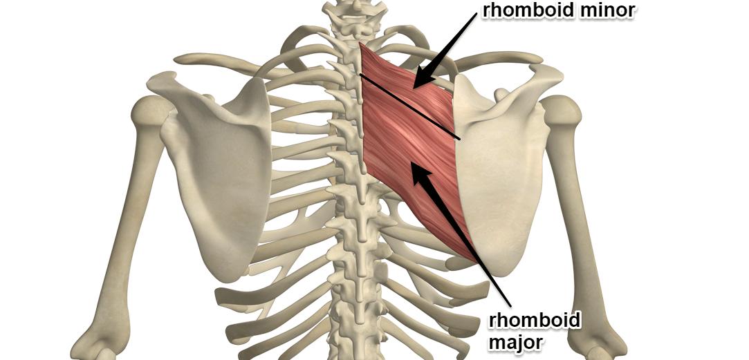 rhomboid-muscles1083x521